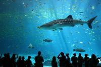 A világ legnagyobb tengeri akváriumai, ahol akár cetcápákat vagy manta rájákat is láthatunk