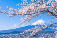 Érdekességek a japán cseresznyevirágzásról!